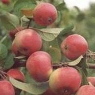 Яблони полукультурные