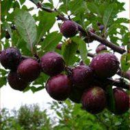 Сливо-вишневые гибриды