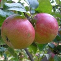 Яблони естественные карлики