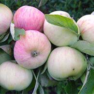 Яблони крупноплодные (сланцы)