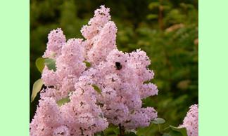 Сирень обыкновенная алтайская розовая