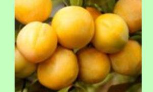 Лимончик (слива №12)