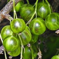 Зеленоплодная смородина