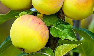 Яблоня крупноплодная Память Жаворонкова